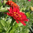 Zinnia - Stock Photo