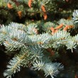 Stockfoto: Pine needles