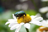 Beetle on daisy — Stock Photo