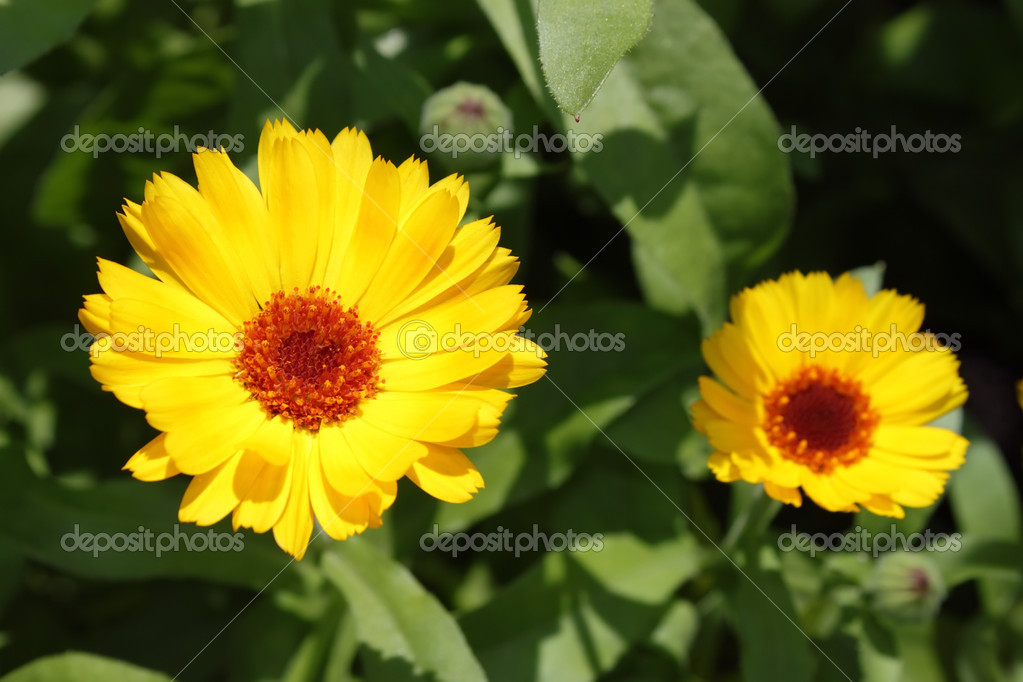 Calendula — Stock Photo #1018751