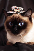 Siamese cat on a dark background — Stock Photo