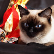 Siamese cat and a gift set — Stock Photo
