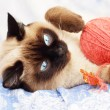 Stock Photo: Siamese cat on a blue background