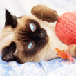Siamese cat on a blue background - Stock Photo
