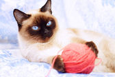 Siamese cat playing on the blue fabric — Stock Photo