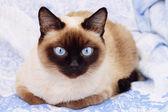 Siamská kočka na modrém pozadí — Stock fotografie