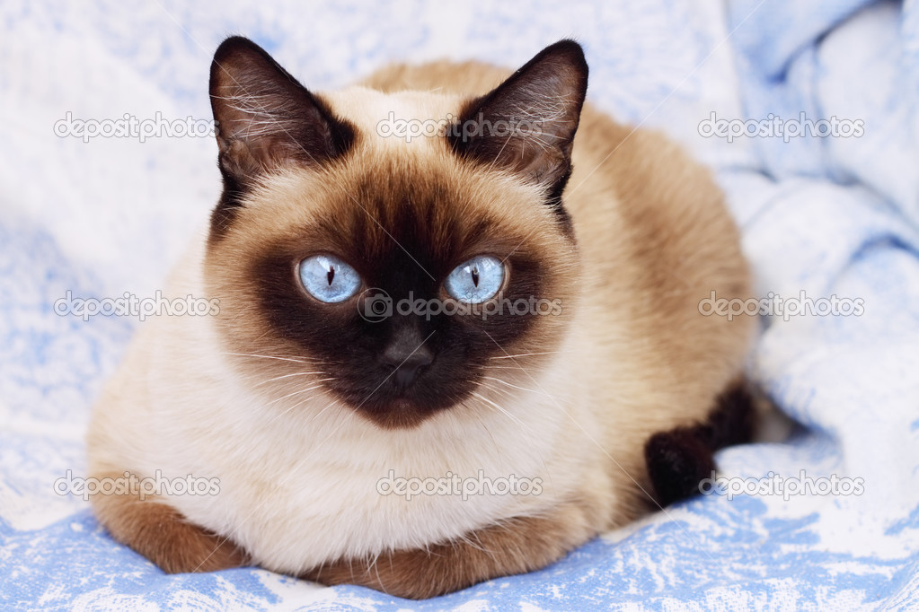 Siamese cat on a blue background — Stock Photo #2591768