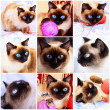 Foto Stock: Siamese cat. Fragments of life