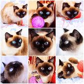 Siamese katt. fragment av liv — Stockfoto