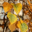 Yellow leaves of a birch — Stock Photo