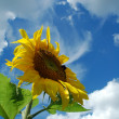 Sunflower in blue sky — Stock Photo