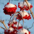 The viburnum in snow — Photo