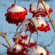The viburnum in snow — Stock Photo