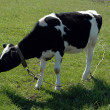 Blask and white calf - Stock Photo