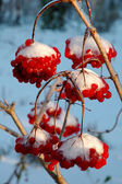 The viburnum in snow — 图库照片