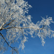 Stock Photo: Birch and rime