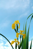 Iris wild-growing yellow marsh on a back — Stock Photo