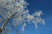 Birch and rime — Stock Photo