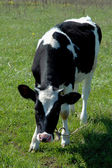 Blask and white calf — Stock Photo