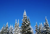 Winter fir wood — Stock Photo