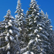Stock Photo: Winter fir wood