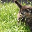 Hunting Kitten in Grass — Stock Photo #1006324