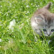 Hunting Kitten in Grass — Stock Photo