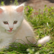 White kitten in grass — Stock Photo #1007087