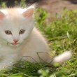 White kitten in grass — Stock Photo