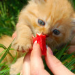 Royalty-Free Stock Photo: Feeding a kitten