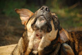 Stray dog scratching — Stock Photo