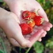 Strawberries in hands — Stock Photo