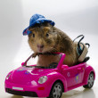 Funny Cavia on the pink car - Stock Photo