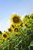 Sunflowers under the sunlight with blue — Stock Photo