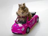Cavia gracioso en el coche rosa — Foto de Stock