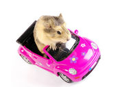Cavia or guinea pig on the pink funny ca — Stock Photo