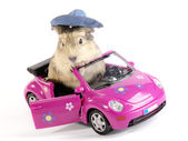 Shaggy Driver. Guinea pig in the funny p — Stock Photo