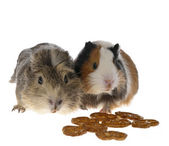 Guinea pig close to crunches — Stock Photo
