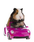 Guinea pig sitting in a car on white bac — Stock Photo