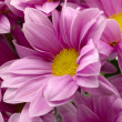 Chrysanthemum — Stock Photo #1093512