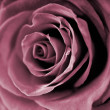 Red rose closeup photo. - Stock Photo