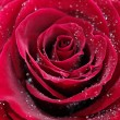 Red rose with water drops, closeup photo - Foto de Stock