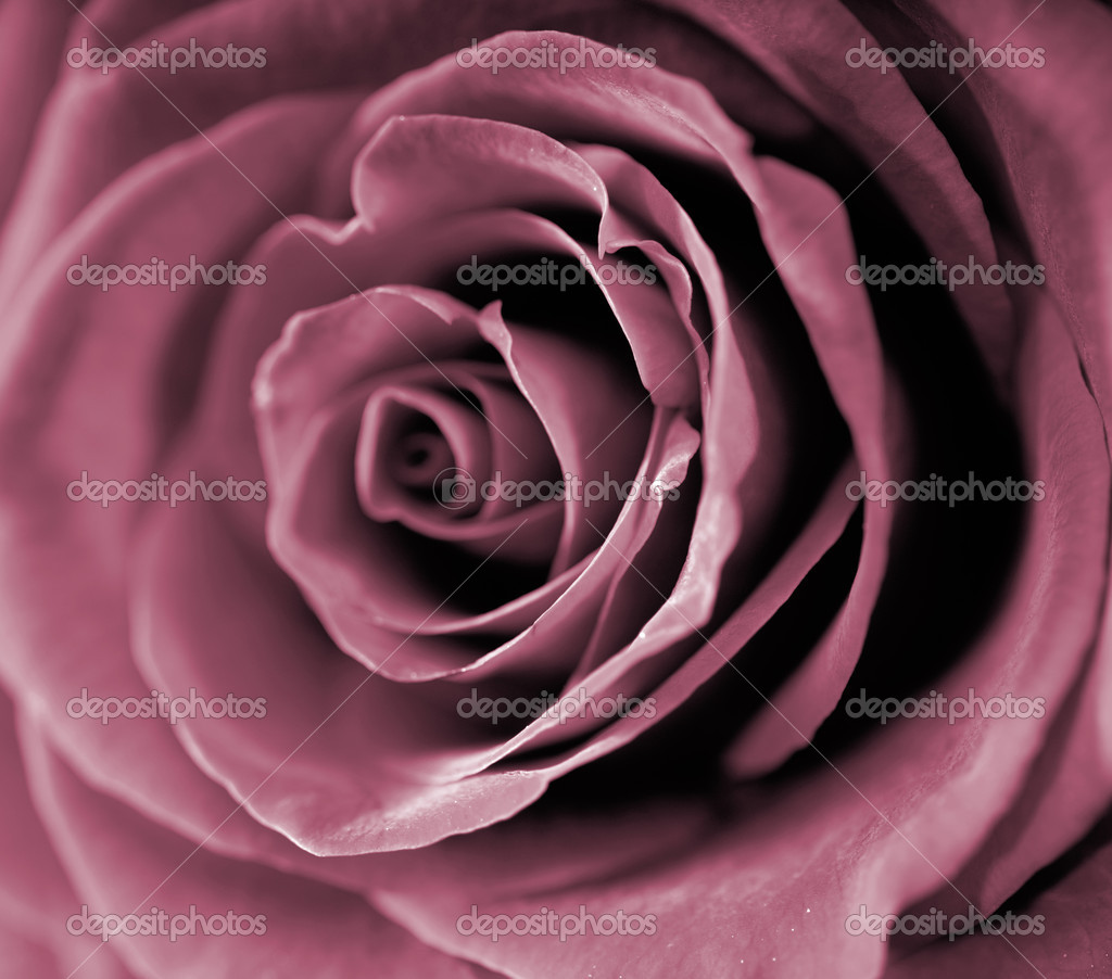 Red rose closeup photo. — Stock Photo #1118633