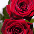 Red rose with water drops, closeup photo — Stock Photo