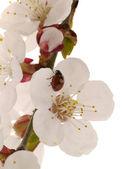 Detailansicht einer aprikose baum blume — Stockfoto