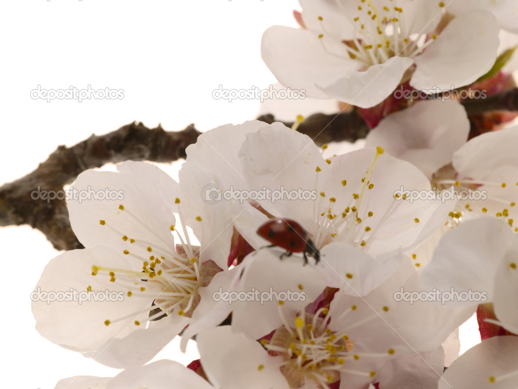 Detail view of a apricot tree flower, with insect  Stock Photo #1195288