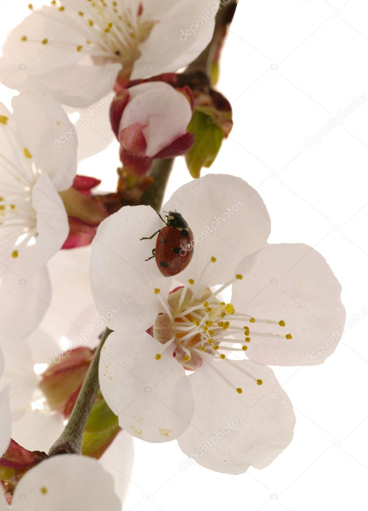 Detail view of a apricot tree flower — Stok fotoğraf #1196687