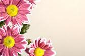 Chrysantemum flowers — Stock Photo