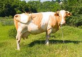 Krowa na pastwisku na zielonej trawie — Zdjęcie stockowe