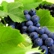 Fresh grape cluster with green leafs — Stock Photo